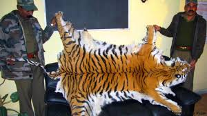 bbc future tigers can we afford to save them