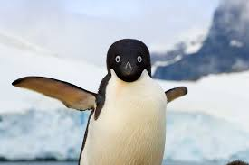 why did penguins stop flying the answer is evolutionary