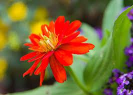 zinnia flowers zinnias the hardest working flower in the summer garden chicago