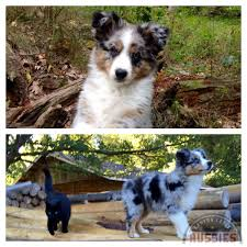 hiking with australian shepherds canyon creek aussies