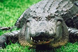 Interior Crocodile Alligator Adopt An Animal Adopt An Alligator