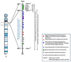 ijms free full text the 15q11 2 bp1 u2013bp2 microdeletion syndrome