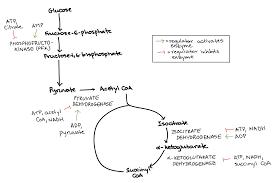 canislupus u2014 chapter 9 cell respiration u0026 fermentation study