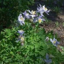 caladium care planting caladium bulbs planting bulbs and plants
