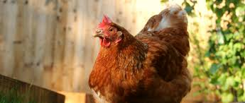could you give a hen like pumpkin a happy home this autumn bhwt