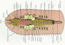 flat round and segmented worms