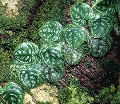 Tropical Climbing Plant - file monstera jpg rainforest plants