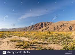 Where Is Anza Borrego by Henderson Canyon Wildflowers Anza Borrego Desert State Park Stock