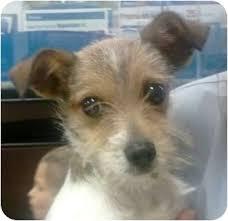 australian shepherd chihuahua mix peanut adopted puppy peanut orlando fl fox terrier