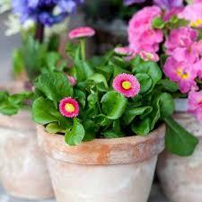 400 pink english daisy bellis seeds of garden flowers perennial