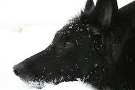 belgian shepherd black free photo dog belgian shepherd dog free image on pixabay