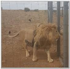 lions for sale lions for sale leeus te koop boshof omgewing