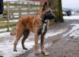 belgian shepherd breeders sinanju u0027s breeder of laekenois belgian shepherd dogs