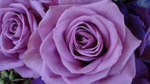 lavender roses lavender roses