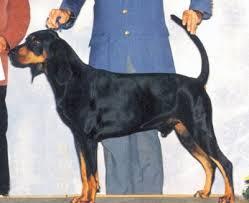belgian malinois jet black black and tan coonhound jpg
