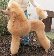 hair styles at the shoodle in animal crossing new leaf 102 best ivan images on pinterest poodles standard poodles and pets