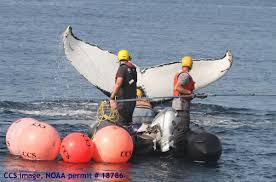 whale rescued off cape cod necn