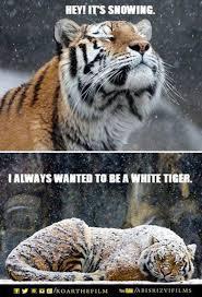 Funny Tiger Memes - 28 best roar memes images on pinterest meme memes and cute tigers