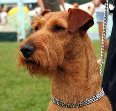 dog irish terrier information for kids for hard coloring pages