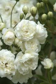 White Roses For Sale White Roses Weiße Rose White Rose Pinterest White Roses