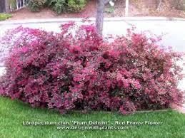 loropetalum chinesis plum delight fringe flower