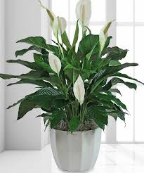 peace lilly serenity peace 10 funerals cremations