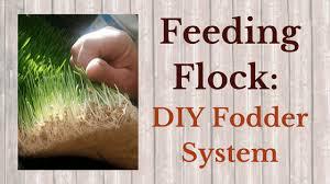 feeding flock diy fodder system the well prepared witch