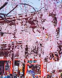 i bought tickets to japan during the cherry blossom but ended up