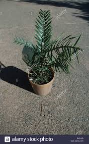 native plant nurseries wollemi pine wollemi nobilis called the dinosaur tree for sale in