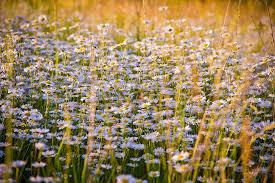 free photo daisy daisies flower macro free image pixabay