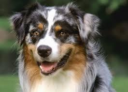 training a australian shepherd puppy 97 best australian shepherd dog images on pinterest dog photos