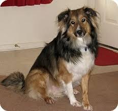 belgian shepherd x border collie nicco adopted dog apache junction az sheltie shetland