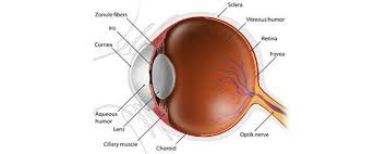 The Anatomy And Physiology Of The Eye The Eye And Vision Myvmc