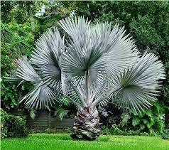 gulfcoast land designs bismarck palm tree landscaping