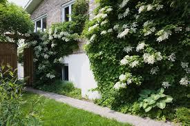 top 6 strongest perennial flowering vines