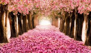 trees with pink flowers falling petal the tunnel of pink flower trees