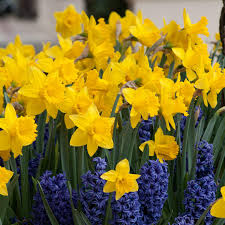 spring flower gold standard daffodils dutch flower bulbs at wholesale prices