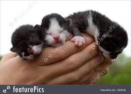 three newborn kittens in hands picture