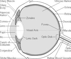 Blind Spot In Eyes The Human Eye