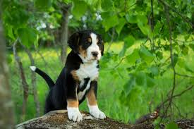 Table Mountain Animal Shelter by Greater Swiss Mountain Dog Breed Information Pictures