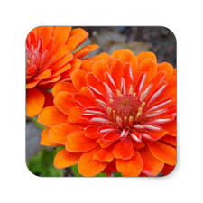 Zinnia Flowers Zinnia Flower Gifts On Zazzle