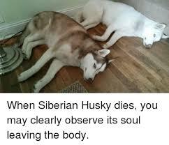 Siberian Husky Meme - husky and husky meme on me me
