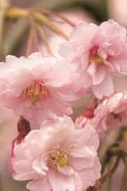 flowering cherry tree varieties care garden design