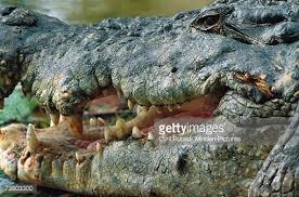 Interior Crocodile Alligator Saltwater Crocodile Or Estuarine Crocodile Walking Along Ocean