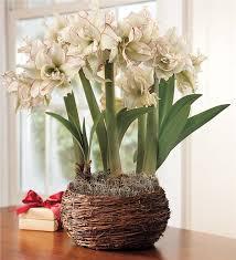 harlequin amaryllis trio bulb garden favorite gifts