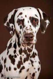 pin robin dewitt dalmation dalmatian dog
