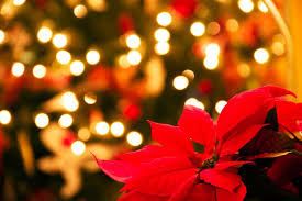 christmas flowers why poinsettias are the official christmas flower reader s digest