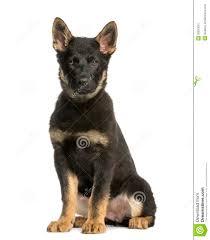 belgian sheepdog groenendael puppies young belgian shepherd sitting and staring 10 months old stock