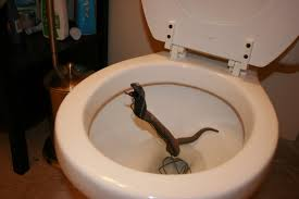 snakes in a toilet 5 animals capable of crawling up your pipes