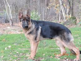 belgian shepherd 6 months german shepherds vbds 2016 breeding